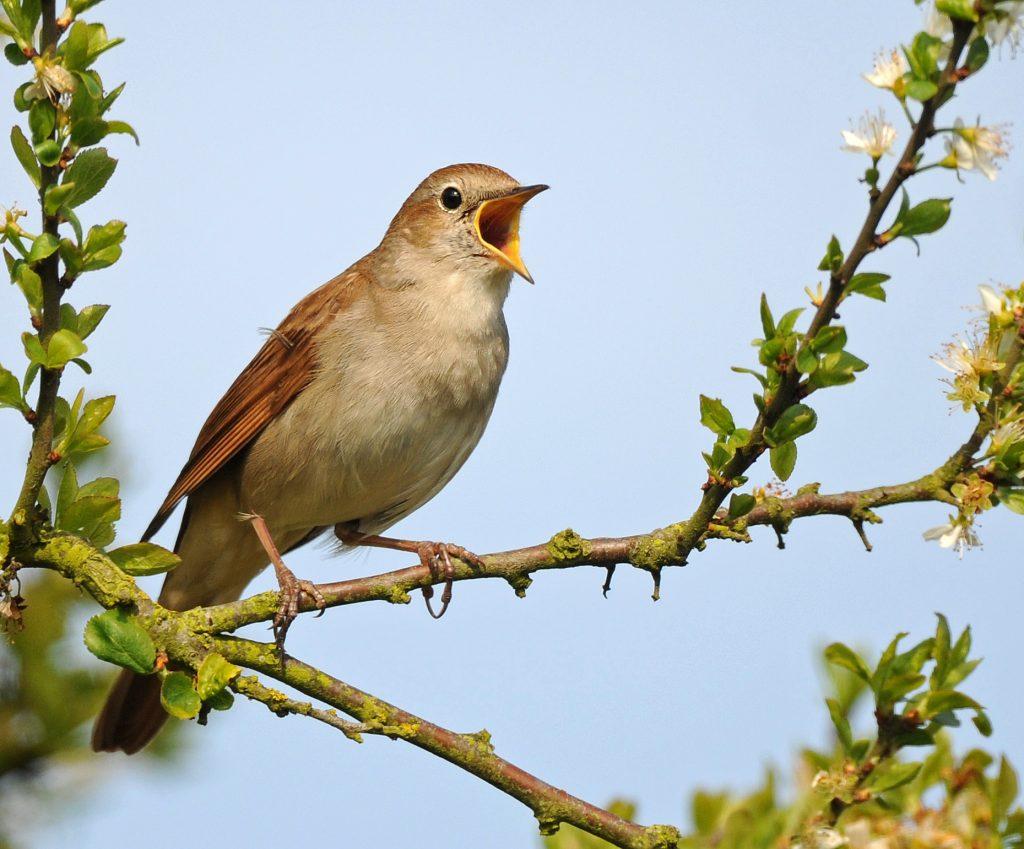 como as aves respiram - sistema respiratorio das aves