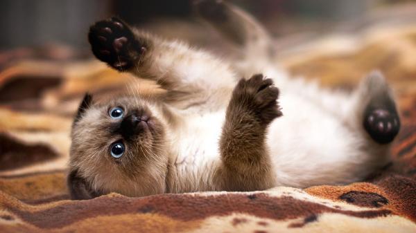 Curiosidade Felina: Gato siamês